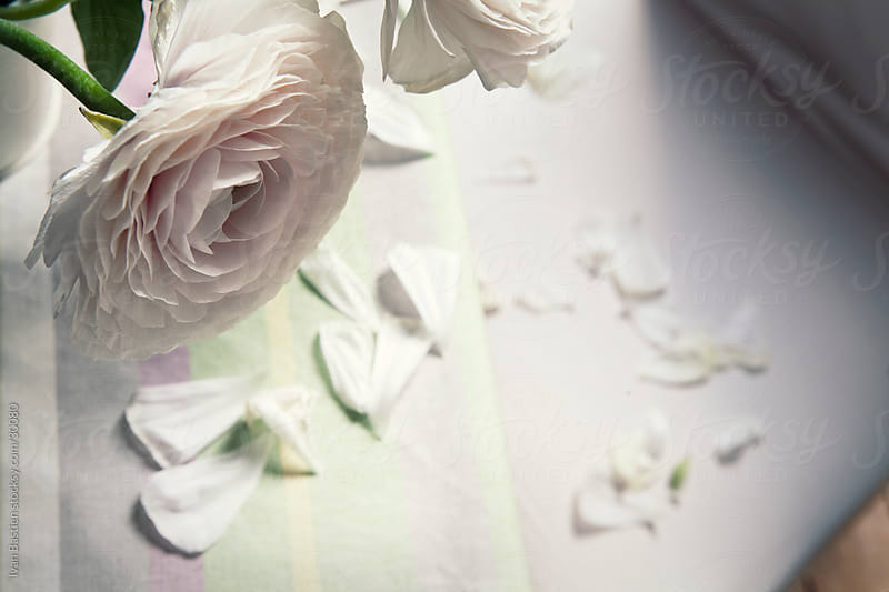 Withering white rose and fallen petals by Ivan Bastien for Stocksy United