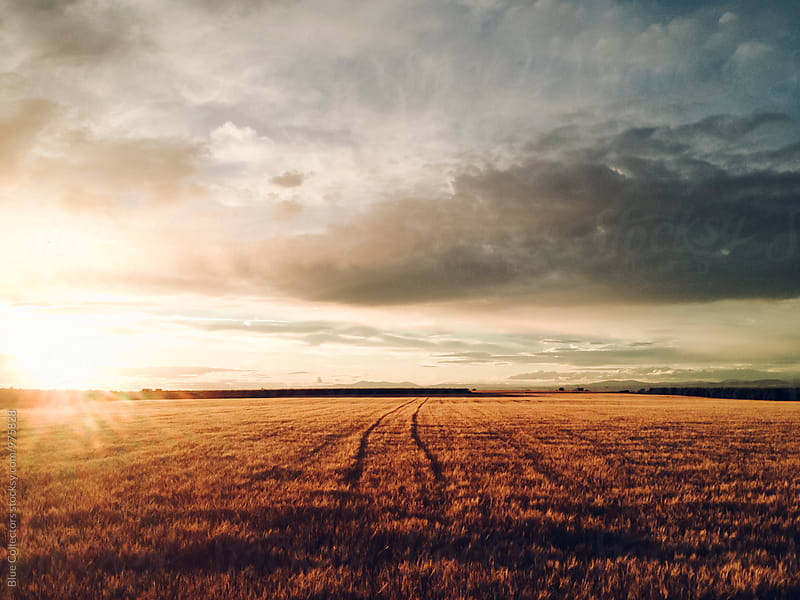 wheat field in the sunset by Jordi Rulló for Stocksy United