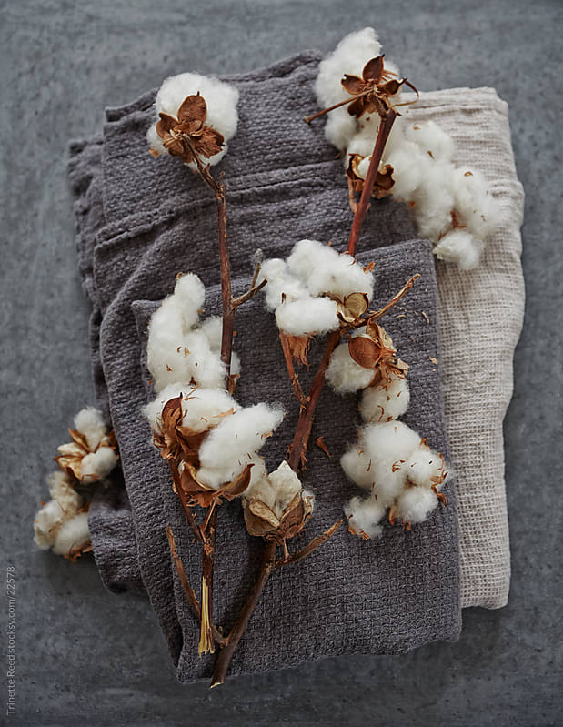 Still Life of cotton plant  by Trinette Reed for Stocksy United