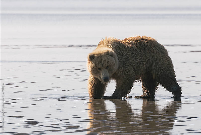 Brown Bear digging for mussels on beach in Alaska by Urs Siedentop & Co for Stocksy United