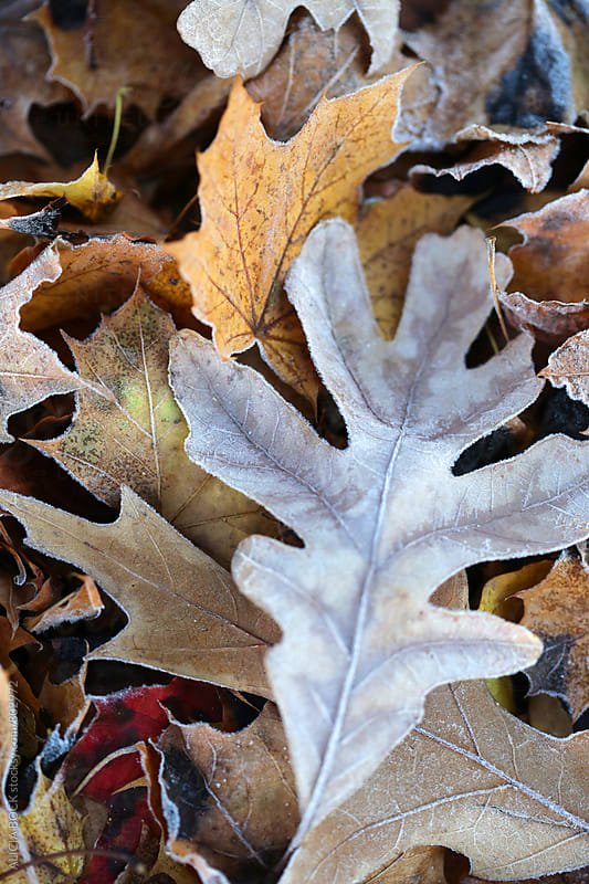 Autumn Leaves Covered With Frost by ALICIA BOCK for Stocksy United