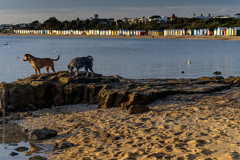 Two Dogs with Brighton Bathing Boxes in Background by Gary Radler Photography for Stocksy United