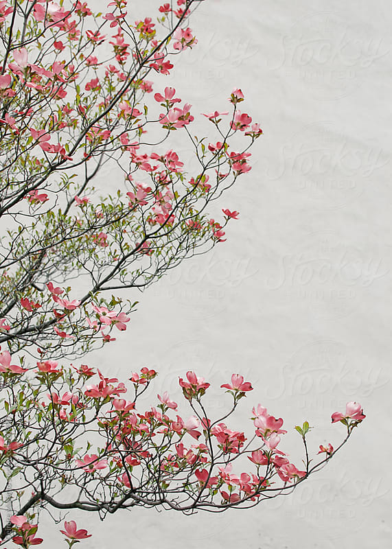 Pink Dogwood Blossoms against a White Wall. by Deirdre Malfatto for Stocksy United