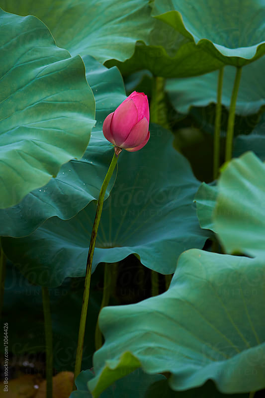 lotus flower by Bo Bo for Stocksy United