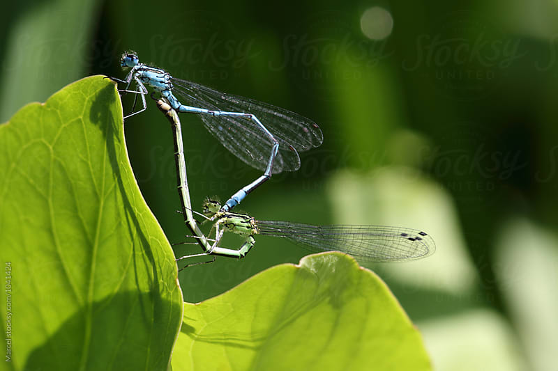 White-legged damselflies mating by Marcel for Stocksy United