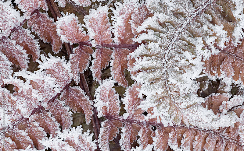 Fern and frost by Mark Windom for Stocksy United