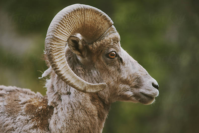 Bighorn Sheep Head by Kevin Russ for Stocksy United