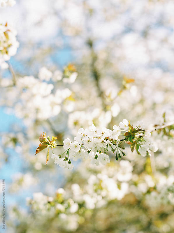 Vertical image of white cherry blossom by Kirstin Mckee for Stocksy United