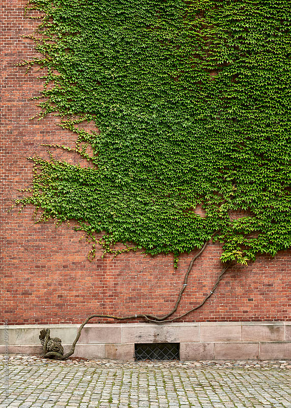 Brick wall decorated with growing Ivy tree by Trent Lanz for Stocksy United