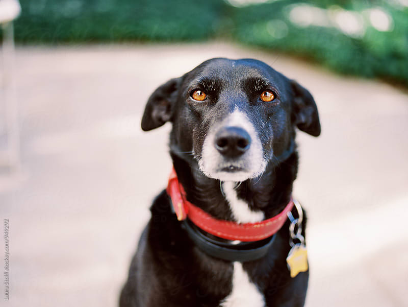 Black dog with red collar sits and looks at the camera, close up by Laura Stolfi for Stocksy United