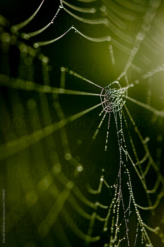 Spider web with morning dew drops by Harald Walker for Stocksy United
