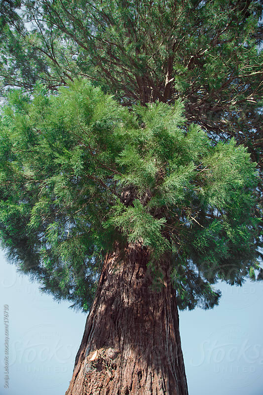 green tree by Sonja Lekovic for Stocksy United