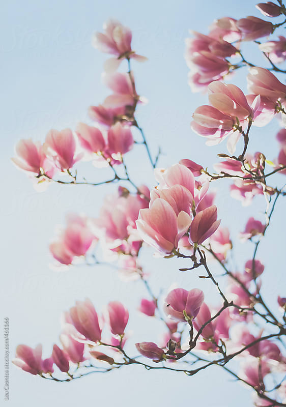 Pink flowers of a magnolia tree by Lea Csontos for Stocksy United