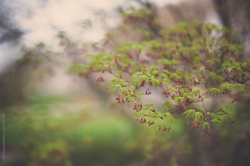 Japanese Maple Beginning To Leaf Out in Spring by Leigh Love for Stocksy United