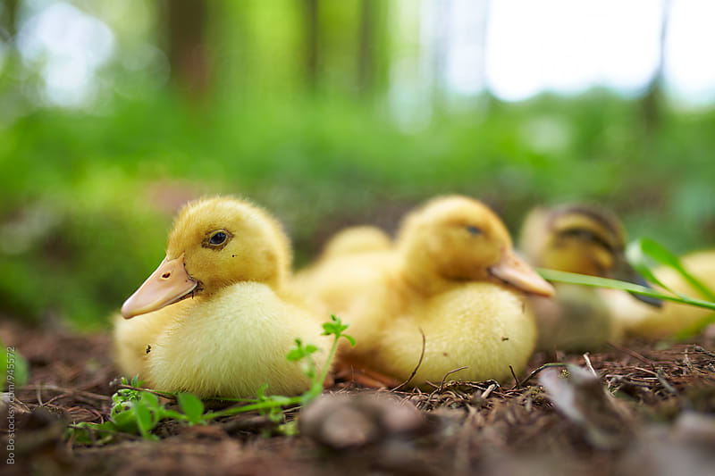 lovely yellow ducklings outdoor by Bo Bo for Stocksy United