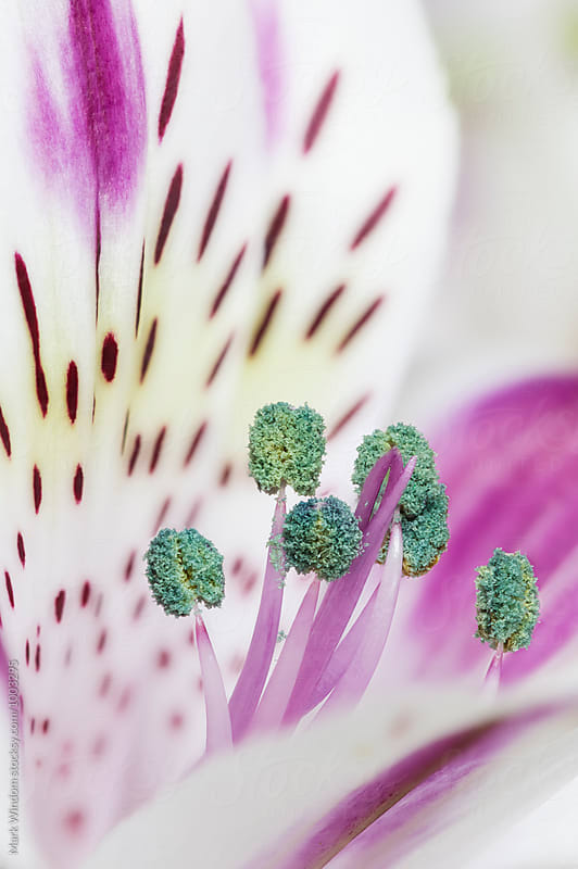 Alstroemeria by Mark Windom for Stocksy United