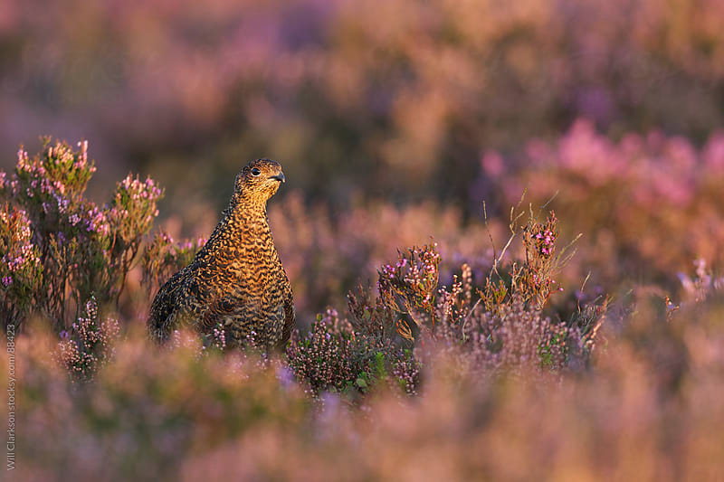 A young Red Grouse at dawn in the Peak District by Will Clarkson for Stocksy United
