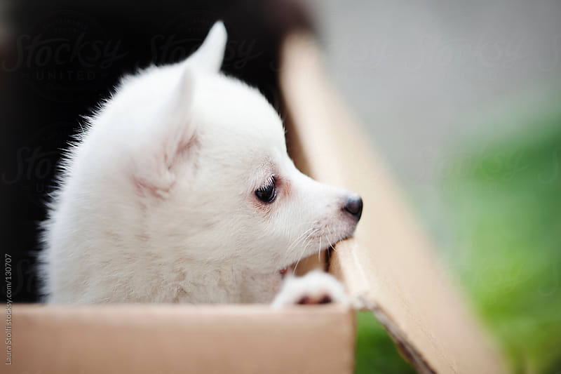 Spitz puppy standing on her feet and looking at something in cardboard box by Laura Stolfi for Stocksy United