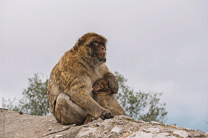 Mother Barbary Macaque ape feeding her baby by Preappy for Stocksy United
