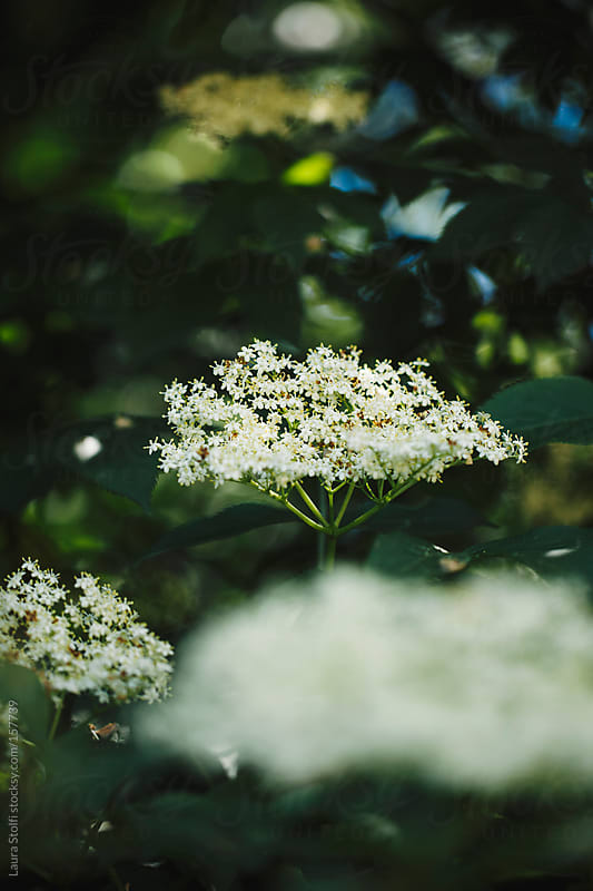 Close up of Elder tree flowers in bloom by Laura Stolfi for Stocksy United