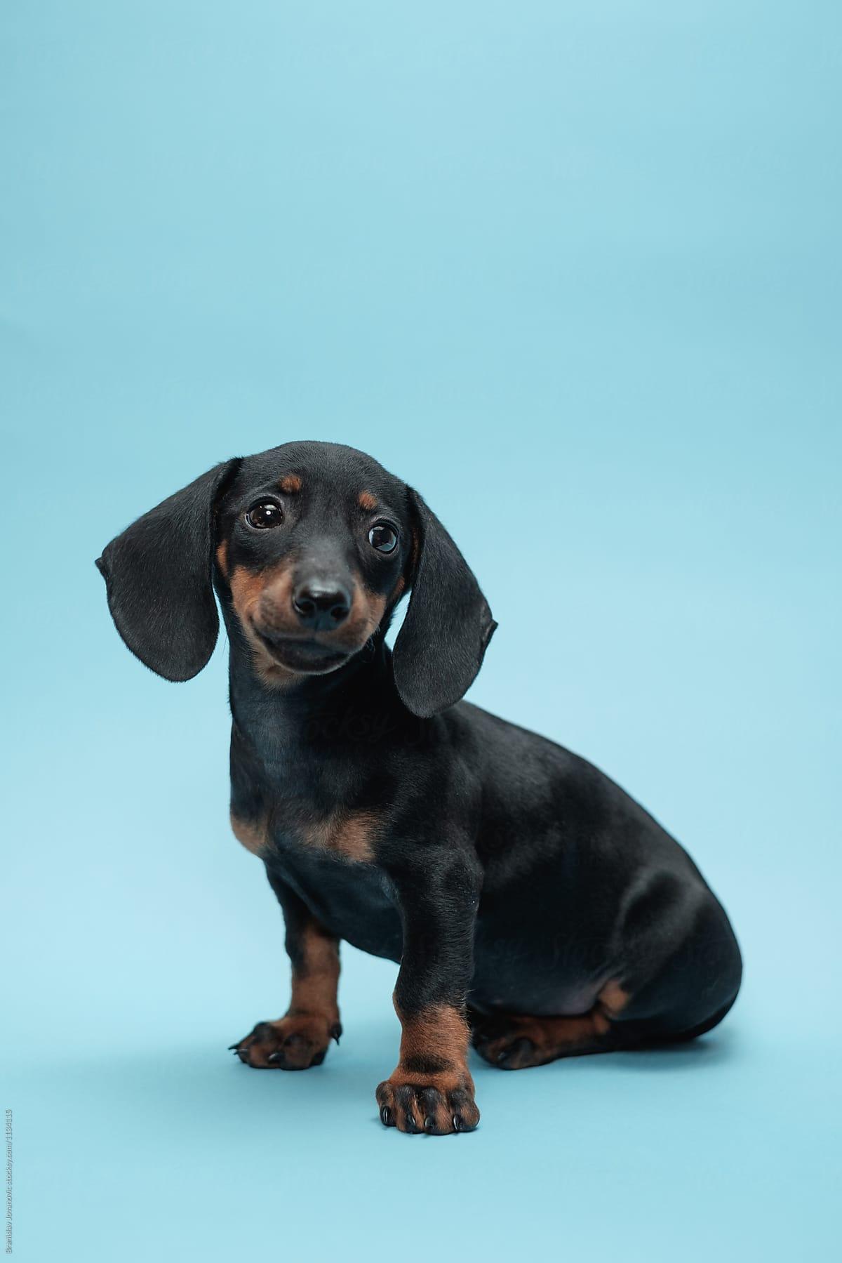 Cute Dachshund Puppy Portrait Por Brkati Krokodil Dog Dachshund Stocksy United