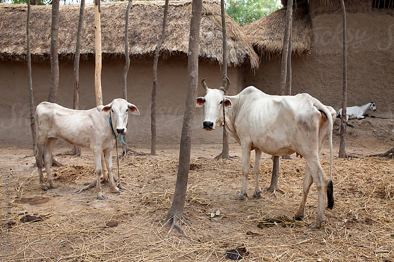 Domestic animal in Rural India by PARTHA PAL for Stocksy United