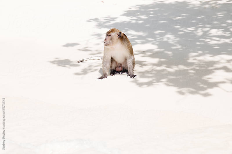 Adult monkey on beach in sunlight by Andrey Pavlov for Stocksy United