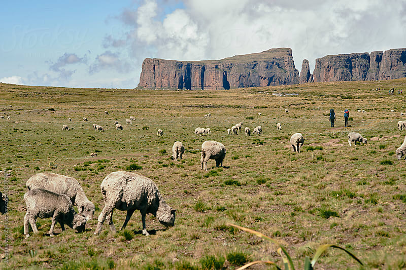 Merino sheep grazing in a grass field with two backpackers hiking into the distance. by Jacques van Zyl for Stocksy United