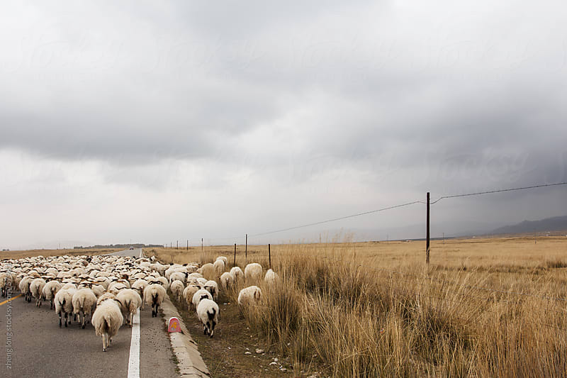 sheeps  in the Tibetan Plateau of China by zheng long for Stocksy United