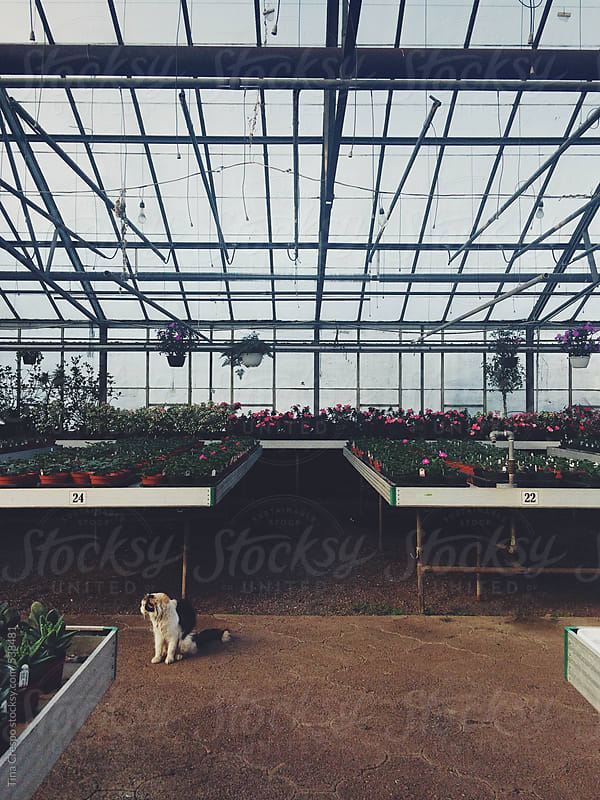 Calico Cat in Greenhouse by Tina Crespo for Stocksy United
