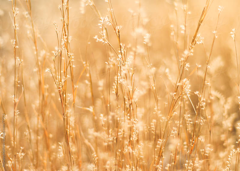 golden grass in winter at sunrise by Deirdre Malfatto for Stocksy United