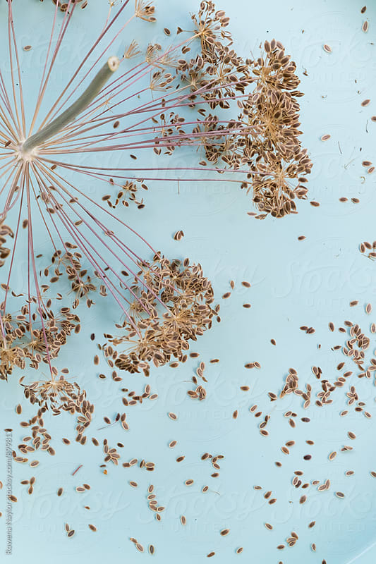 Dried Dill Flower and Dill Seed by Rowena Naylor for Stocksy United