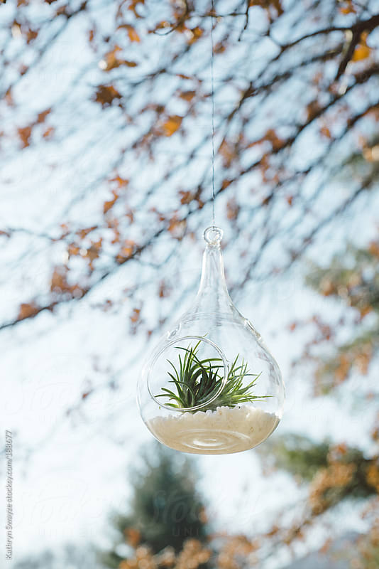 An air plant (tillandsia) hangs from a tree outside by Kathryn Swayze for Stocksy United