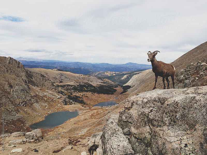 Bighorn Sheep Overlook by Kevin Russ for Stocksy United