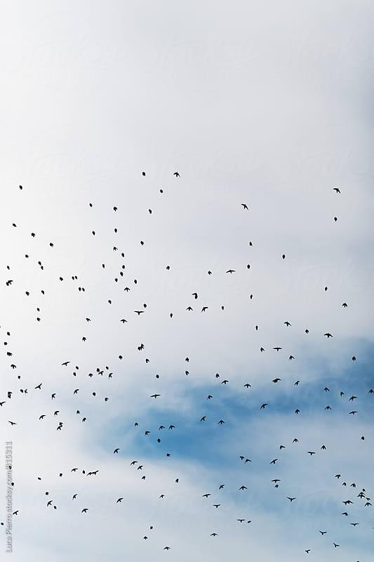 Flock of birds  in the sky by Luca Pierro for Stocksy United