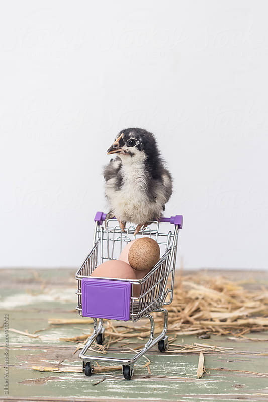 baby chick with eggs in shopping trolley by Gillian Vann for Stocksy United