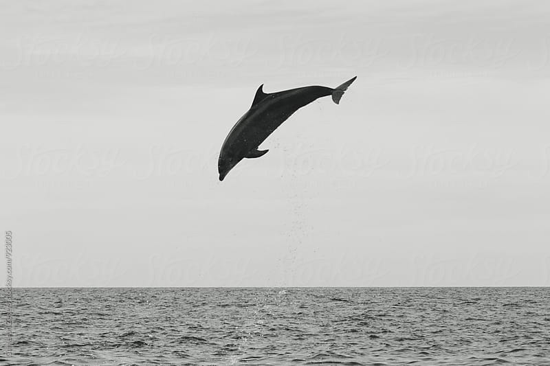 dolphin leaping in Pacific Ocean by Cameron Zegers for Stocksy United