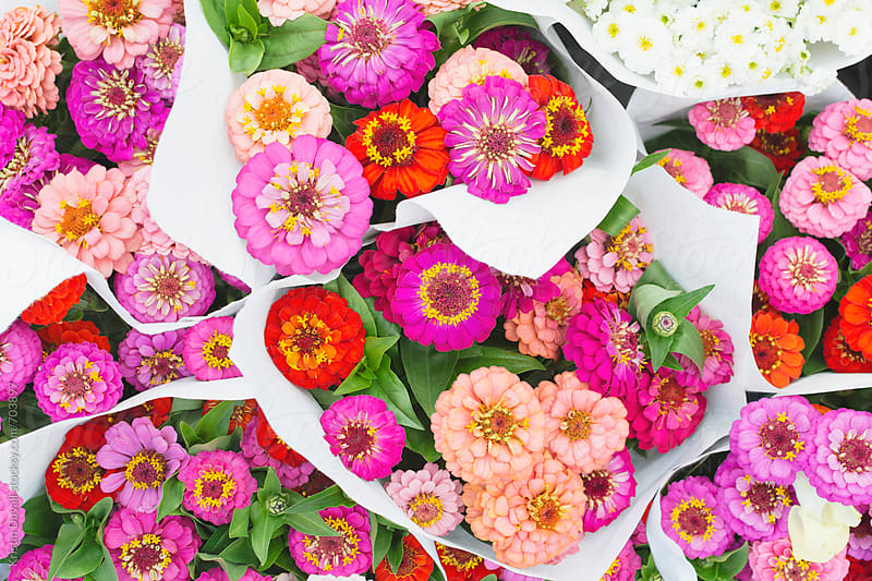Bouquets of colorful zinna flowers by Kristin Duvall for Stocksy United