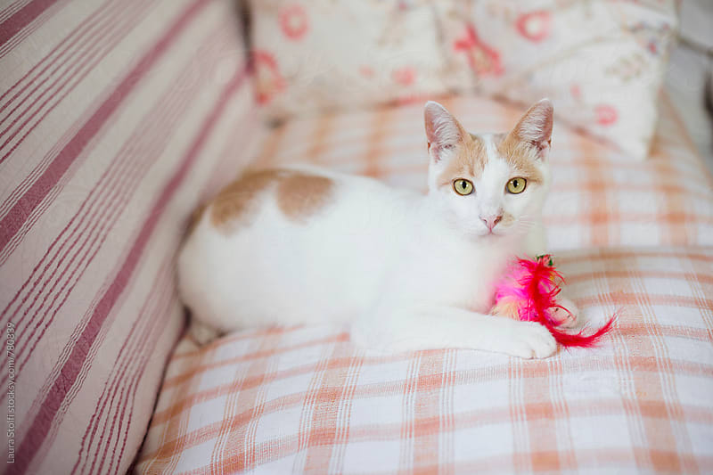 White cat and his toy on sofa by Laura Stolfi for Stocksy United