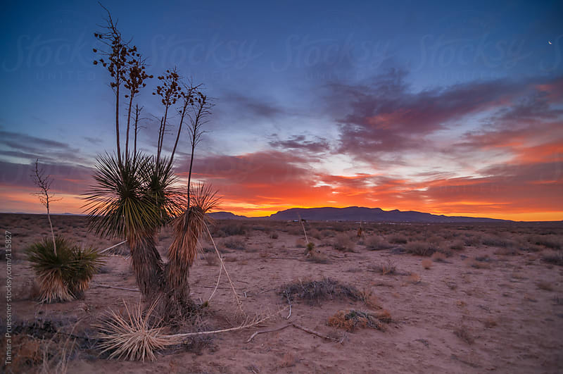 Desert Sunrise With Yucca Cactus by Tamara Pruessner for Stocksy United