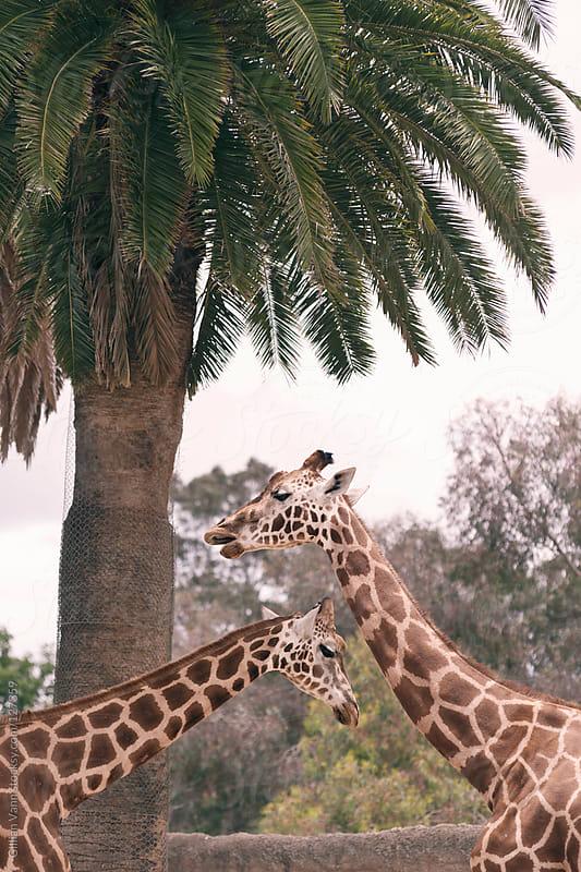 giraffes passing by Gillian Vann for Stocksy United