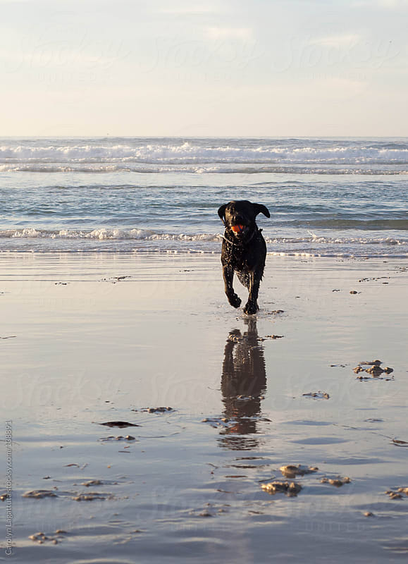 Black labrador and his owner playing fetch on the beach by Carolyn Lagattuta for Stocksy United