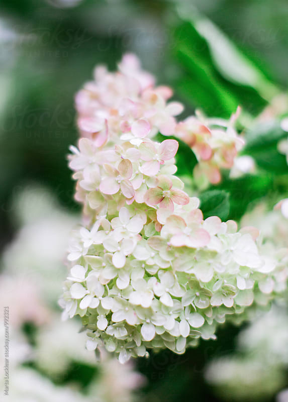 Blush Hydrangea flowers by Marta Locklear for Stocksy United