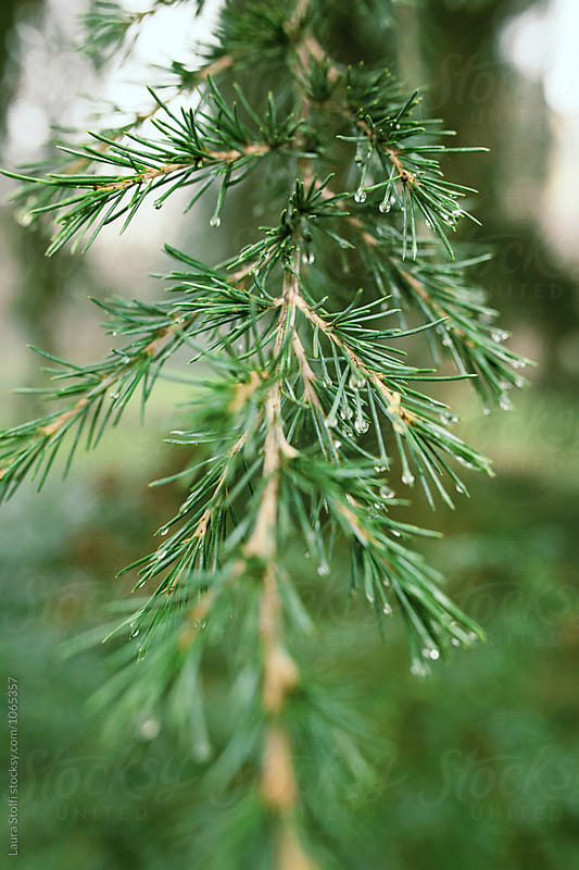 Many raindrops on fir's needles, close up by Laura Stolfi for Stocksy United