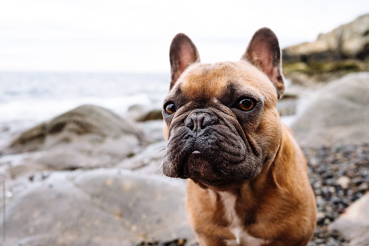 A Brown French Bulldog Puppy At A Rocky And Overcast New England Beach Coast By J Danielle Wehunt Stocksy United