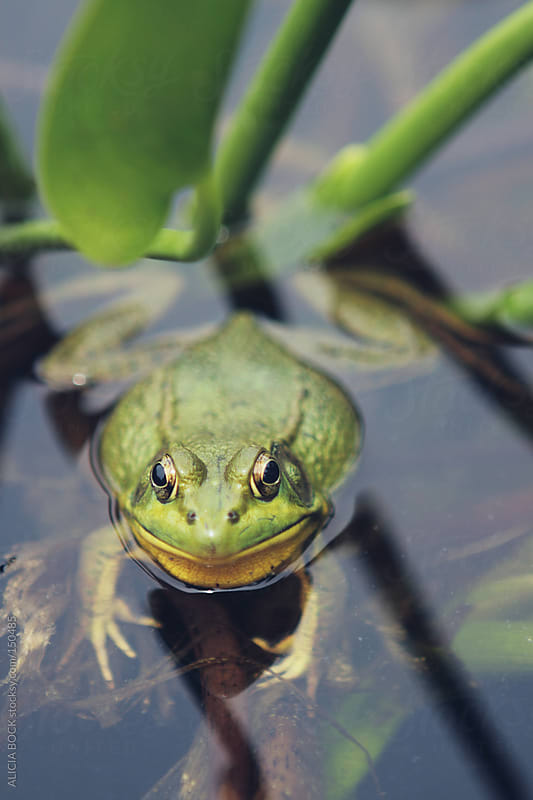 Frog in a Pond by ALICIA BOCK for Stocksy United