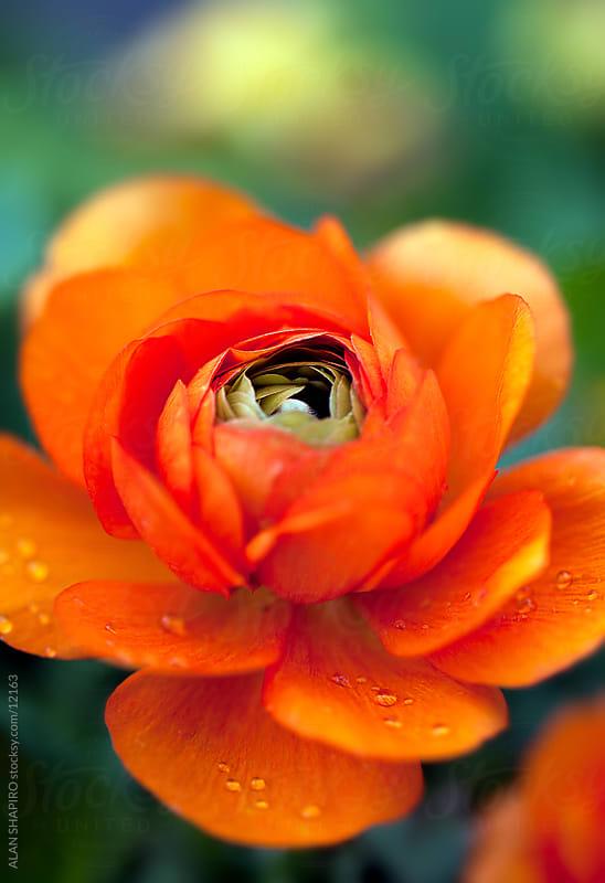 rose by ALAN SHAPIRO for Stocksy United