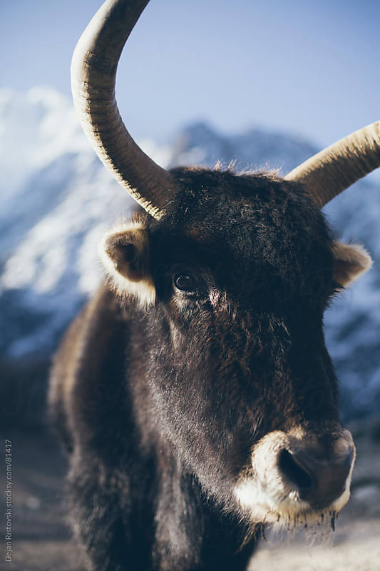 Portrait of a Himalayan yak  by Dejan Ristovski for Stocksy United