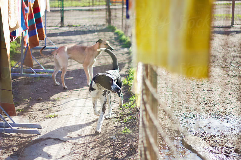 Two stray dogs behind a fence in sunny dogpound by Laura Stolfi for Stocksy United