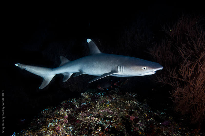 Whitetip reef shark by Song Heming for Stocksy United
